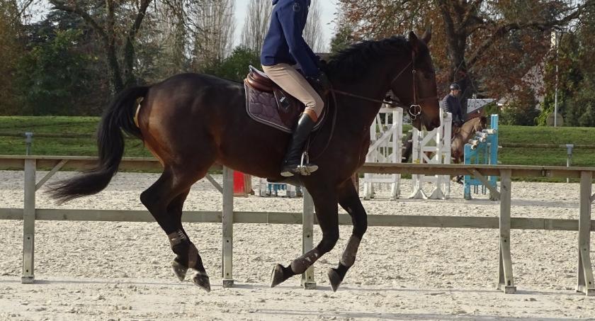 horses priced between 15 and 30k bavaria g hongre selle fran ais de 8 ans par sunderland et. Black Bedroom Furniture Sets. Home Design Ideas